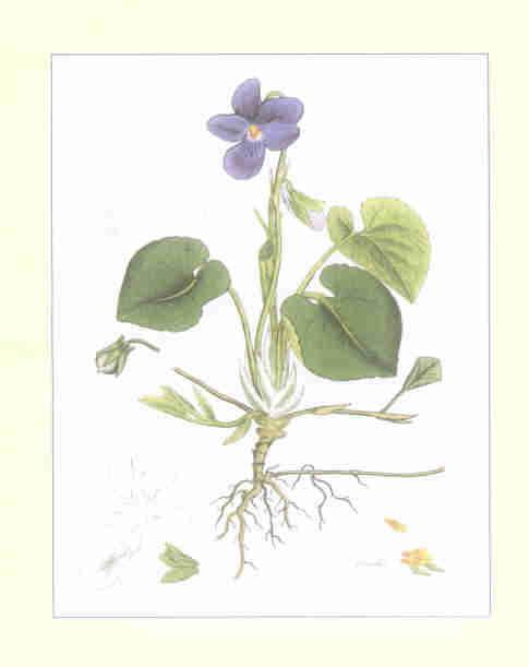 violaodorata1.jpg